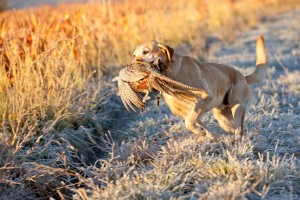 Book your Pheasant Hunt today!!