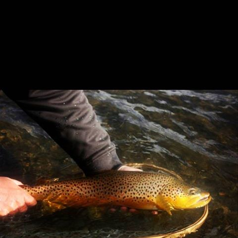Grey Reef Brown Trout